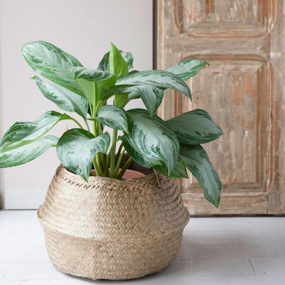 Plantas Aglaonema