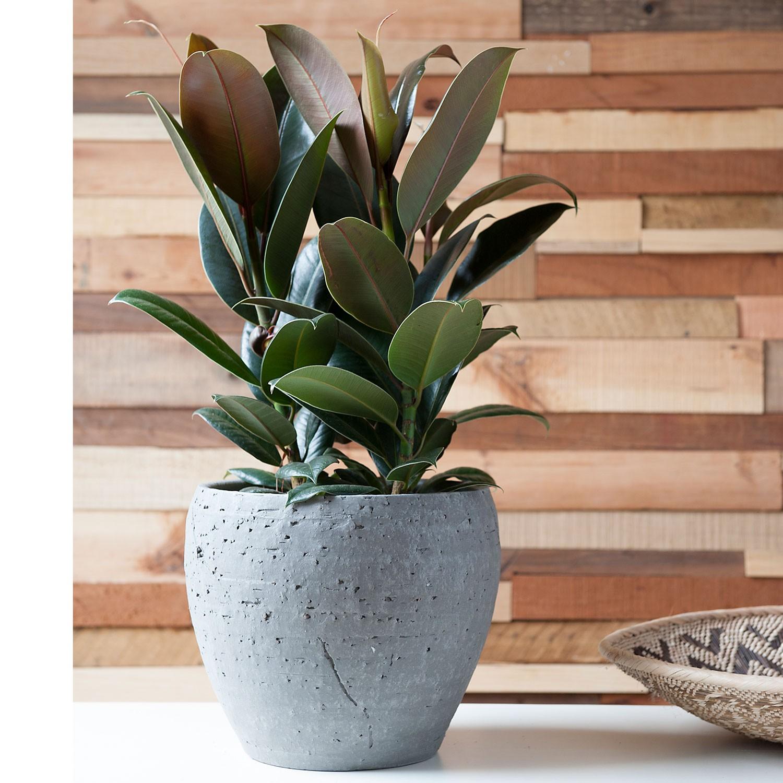 Planta Ficus elástica