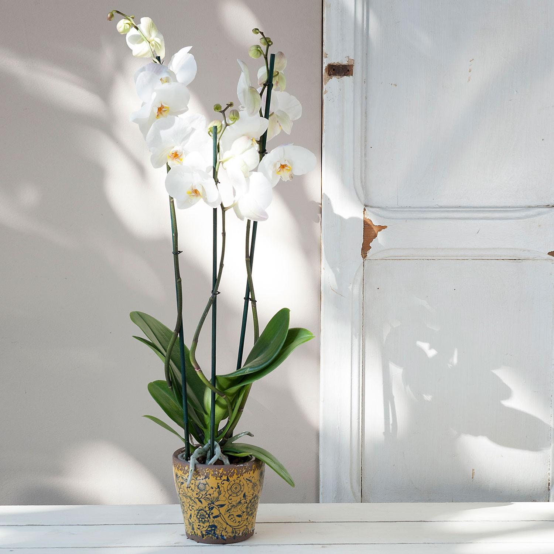 Planta orquídea Phalanopsis blanca