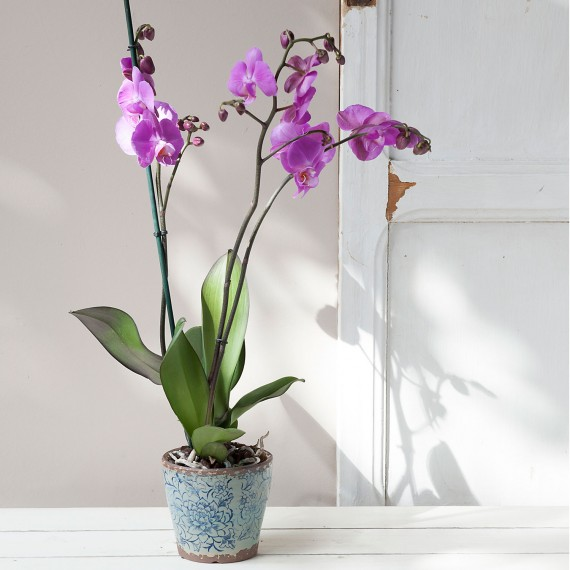 Planta Orquideas Phalanopsis lila