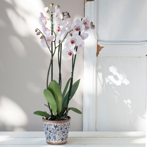 Planta orquídea Phalanopsis rosa