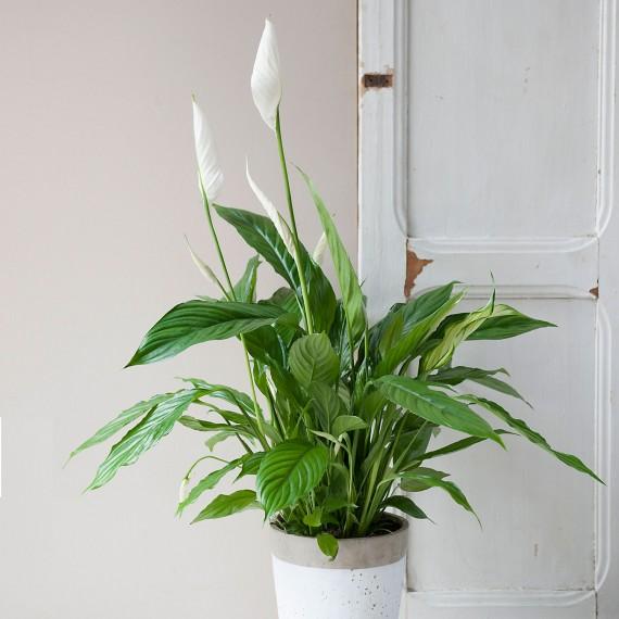 Planta Spatifilium