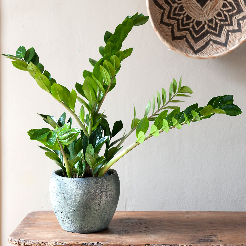 Planta Zamioculca