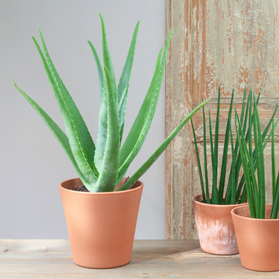Aloe planta natural