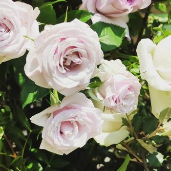 Eres más de rosas rosas o blancas ?? A nosotros nos gustan todasssss  #flormaniacs #floresonline #flores🌸 #floresadomicilio #ramosdeflores #cocoandmiaflores