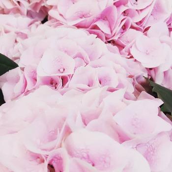 Empiezan las hortensias! En gamas de azules, rosados y blancos 💗