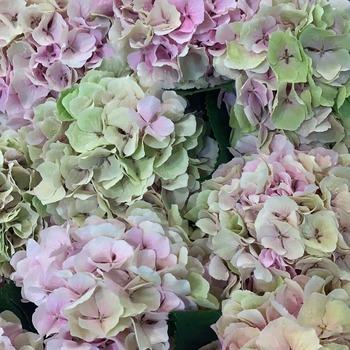Hay para enamorarse tres veces o más!! 💗🌺💗 #flormaniacs #flores🌸 #floresonline #floreafrescas #floresadomicilio #floristeriaonline #hortensias #ramosconhortensias #cocoandmiaflores